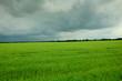 Пшеница и гроза