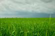 Пшеница перед грозой