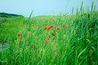 Мак на пшеничном поле