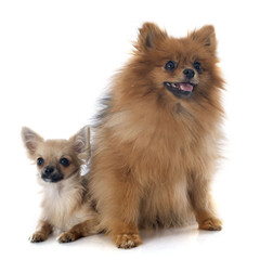 puppy chihuahua and spitz