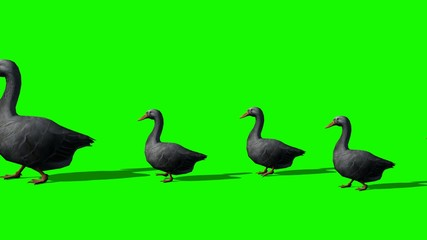 geese family runs past - green screen