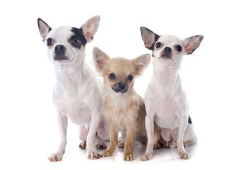 three chihuahuas