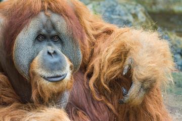 Portrait of Sumatran orangutan (Pongo abelii)