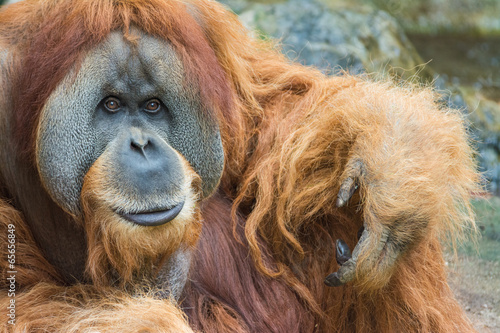 Foto op Canvas Aap Portrait of Sumatran orangutan (Pongo abelii)