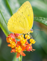 Orange-barred Sulphur