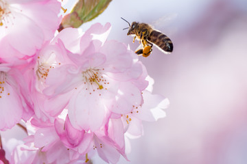 Bee at a Flowering Cherry Tree