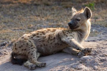 Sleepy hyena lay down on the ground rest in morning sun