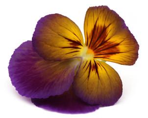 Viola flowe