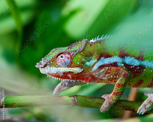 Foto op Plexiglas Afrika Green chameleon