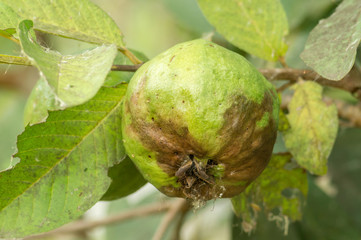 Rotten guava fruits in farm.