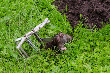 Dead mole caught steel trap lie near mole-hill