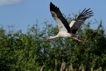 Storch im Anflug