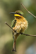 A Little-Bee Eater (Merops pusillus) with ruffled feathers