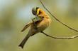 A Little-Bee Eater (Merops pusillus) preening its wing