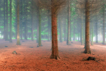 Fir forest in the fresh misty morning