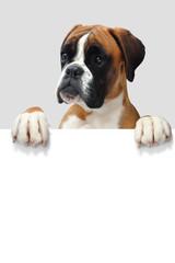 Boxer 329