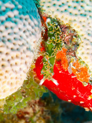 Lettuce sea slug (Elysia crispata) on bright coral