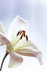 White lily flower on blue background.