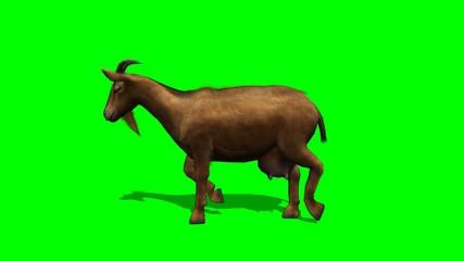 goat walking - green screen