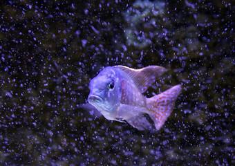 Greenface sandsifter fish (Lethrinops furcifer) among bubbles