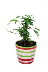 Marijuana on a white background