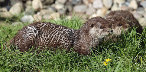 Pair of Oriental small-clawed otter (Aonyx cinerea)