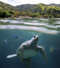 Sea turtle in front of Castara Beach - Tobago, West Indies