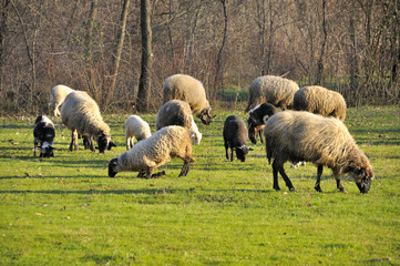 Sheep grazing on meadow