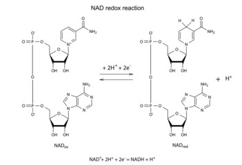 Illustration of NAD redox reaction