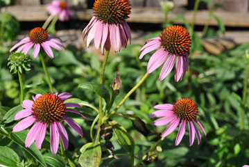 Purple coneflower flower