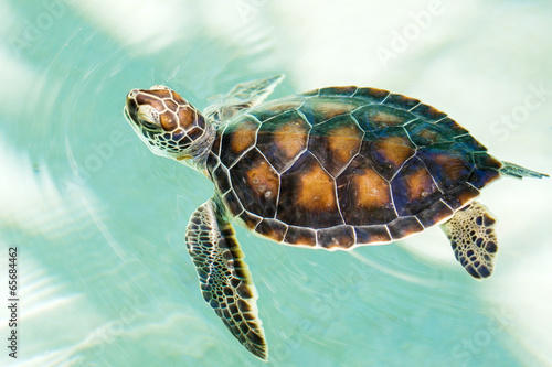 Papiers peints Tortue Cute endangered baby turtle