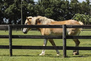 Palomino Horse Fence