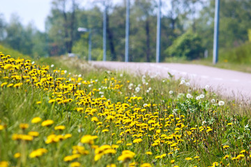 Wild flowers, dandelions, and road in summer