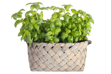 Planting basil herb in basket , isolated on white