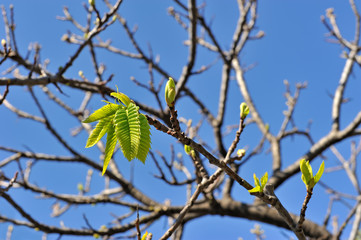 First leaves in spring