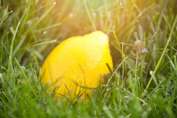 fresh lemon laying on green grass