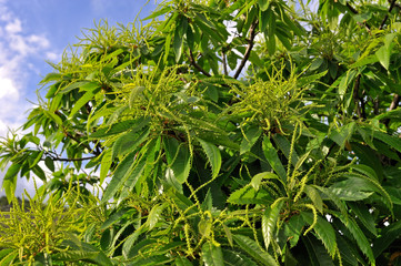 Chestnut catkins tree in flowering