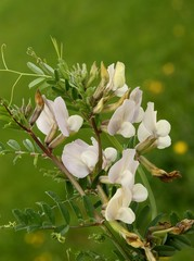 beige flowers of vetch