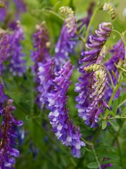 lila flowers of vetch plant