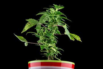 Marijuana on a black background