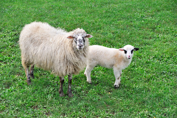 Sheep with lamb on meadow