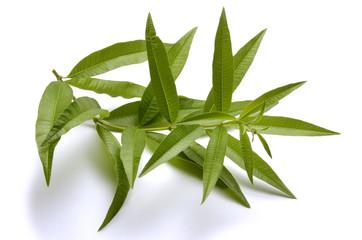 Aloysia citrodora Zitronenstrauch Алоизия трёхлистная