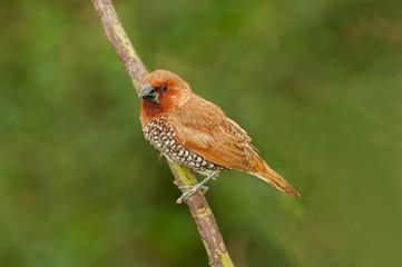 Bird, Scally-breasted Munia (Lonchura punctulata)