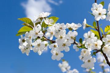 Cherry Blossoms on a blue sky