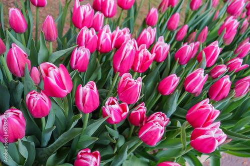 Papiers peints Rose Colorful tulip garden in nature park