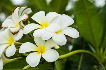 frangipani flower or Leelawadee flowers on the tree.