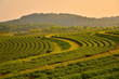 Terrace Tea Plantation Fields