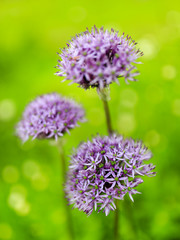 Herbal Garden - flowering chives in the garden