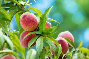Sweet peaches growing on peach tree in garden, closeup