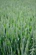 Junger Weizen, h.